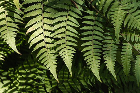 silver background: silver fern leaves background