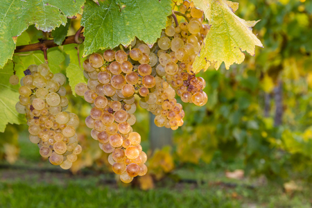sauvignon blanc: ripe riesling grapevine and leaves