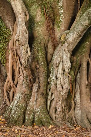 aerial roots: knotted ficus tree trunk and aerial roots