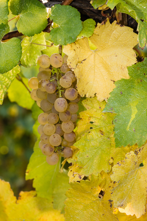 riesling: closeup of white riesling grapes on vine Stock Photo