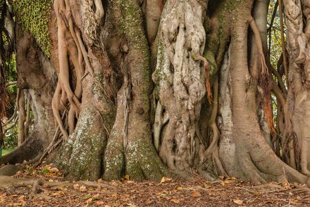 aerial roots: ficus tree trunk and aerial roots Stock Photo