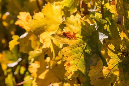 hojas parra: enredadera de hojas amarillas en oto�o Foto de archivo