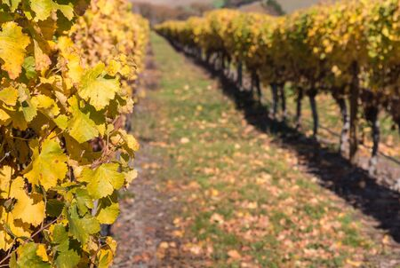grapevine: yellow grapevine leaves with vineyard in background