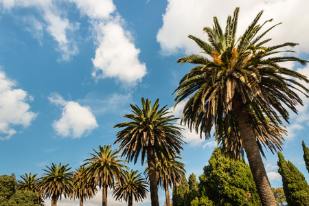 phoenix dactylifera: date palm and cypress trees against blue sky Stock Photo