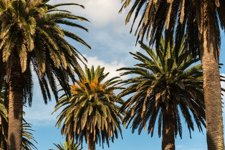 phoenix dactylifera: date palm trees against blue sky