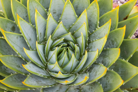 polyphylla: spiral cactus leaves