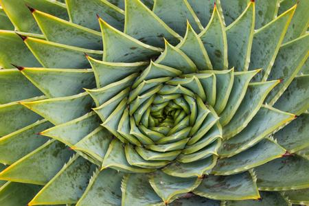 closeup of spiral aloe cacti Banco de Imagens