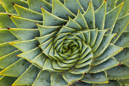 polyphylla: closeup of spiral aloe cacti Stock Photo