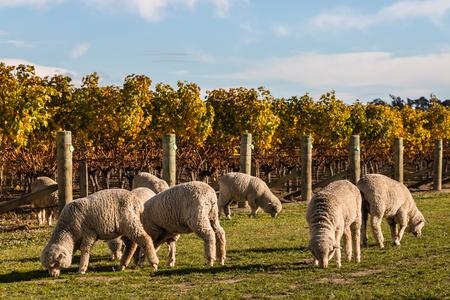 merino: merino sheep in vineyard in autumn