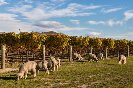 flock of merino sheep in vineyard