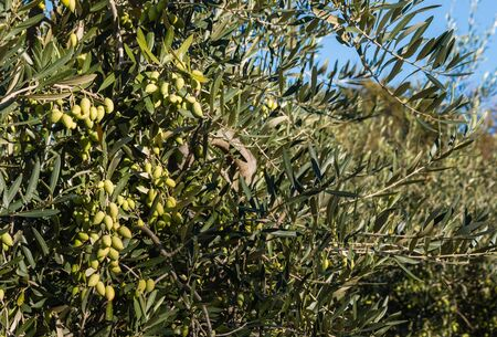 grove: green olives on tree in olive grove