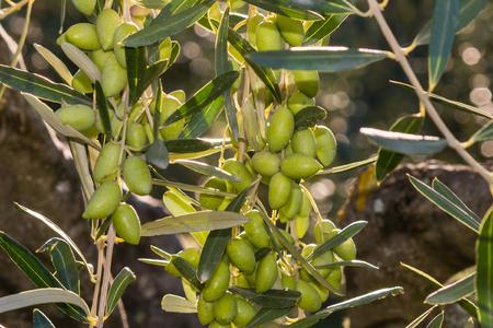 olive green: backlit green olives on olive tree