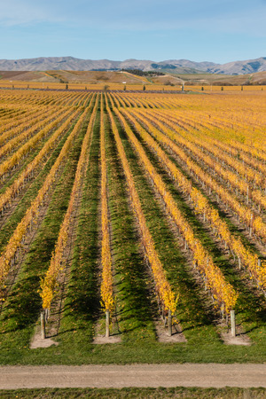 grapevine: rows of grapevine in autumn