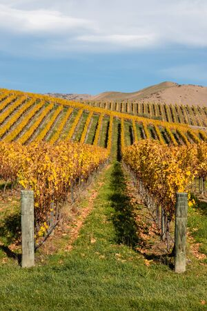 rolling hills: vineyards on rolling hills in autumn Stock Photo