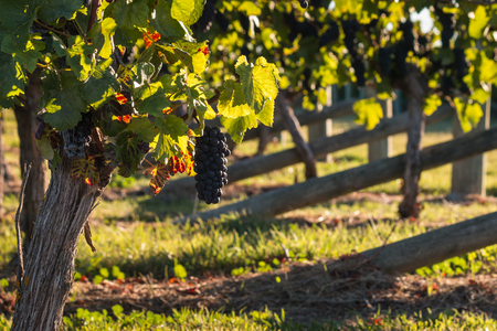 pinot noir: ripe Pinot Noir grapes on vine in vineyard in autumn