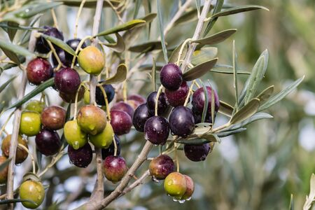 ripening: ripening olives with raindrops on olive tree