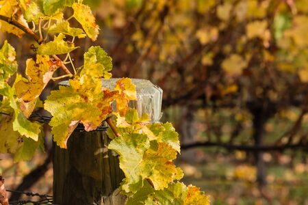 grapevine: closeup of withered grapevine leaves in vineyard Stock Photo