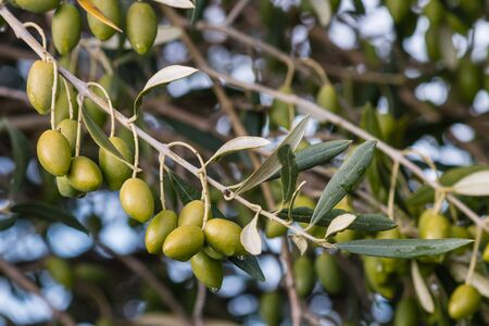 olive green: isolated green olives on olive tree