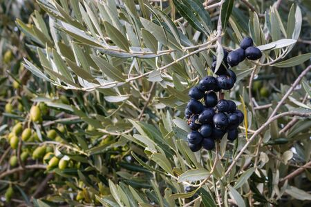 olive green: black and green olives ripening on olive tree