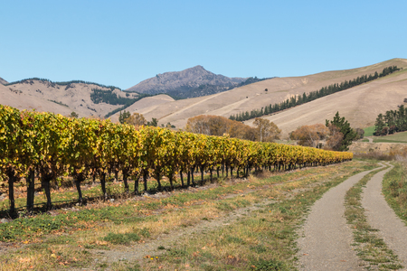 vineyard plain: vineyard in autumn with mountains and blue sky
