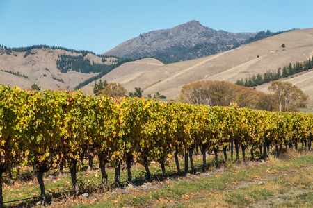 vineyard plain: row of grapevine in vineyard with mountains Stock Photo