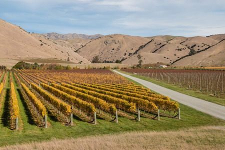 vineyard plain: aerial view of autumn vineyards in New Zealand