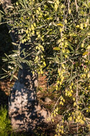 olive green: olive tree with ripe green olives Stock Photo