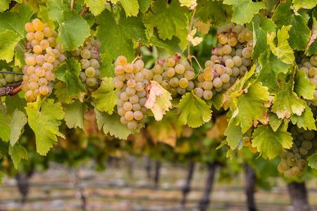 chardonnay: ripe chardonnay grapes in vineyard
