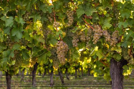 riesling: ripe riesling grapes on vine in vineyard