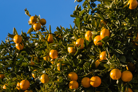clementines: ripe clementines on tree