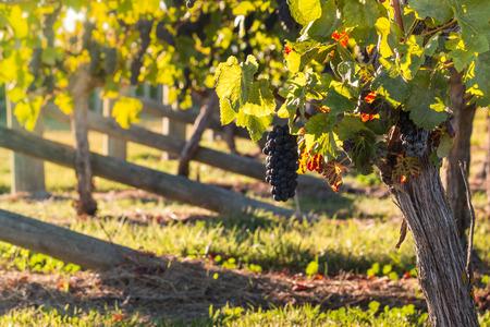 pinot noir: ripe pinot noir grapes in vineyard Stock Photo