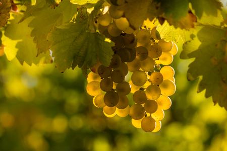 riesling: closeup of sunlit Riesling grapes in vineyard