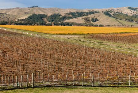 marlborough: aerial view of vineyards in autumn in Marlborough region, New Zealand