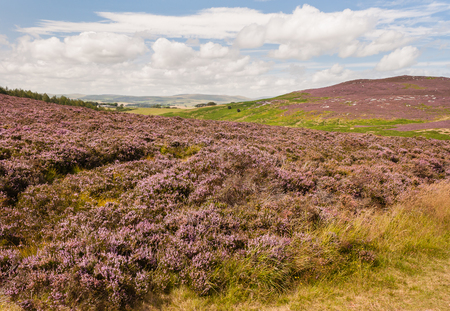 rolling hills: rolling hills with purple heather flowers in bloom