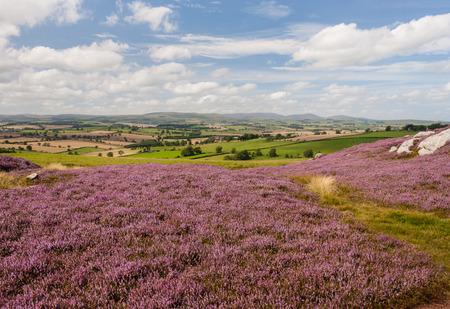 moorland: moorland with purple heather flowers in bloom