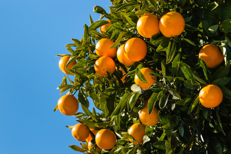 clementines: clementines ripening on tree against blue sky