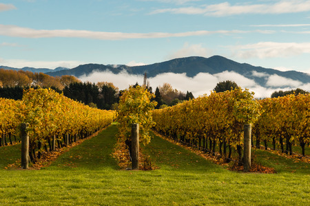 inversion: autumn vineyard with mountains and cloud inversion