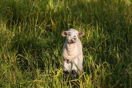 basking: newborn lamb basking on green meadow