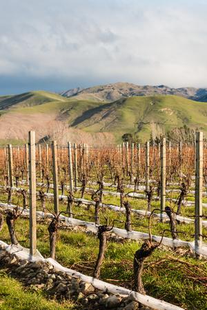 grapevine: pruned grapevine in vineyard after harvest