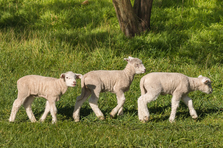 bleating: three little lambs grazing on meadow Stock Photo