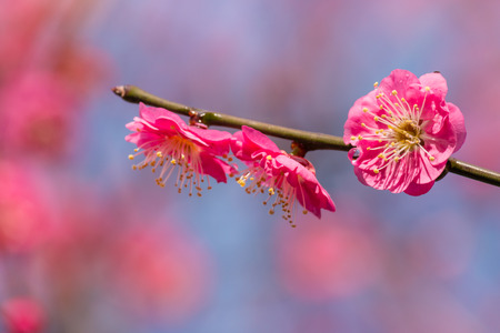 plum tree: closeup of isolated pink plum tree flowers in bloom Stock Photo