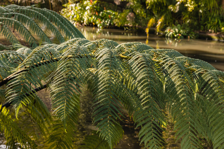 silver fern: closeup of silver fern leaves with river in background Stock Photo