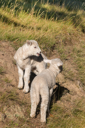 bleating: closeup of two playful lambs