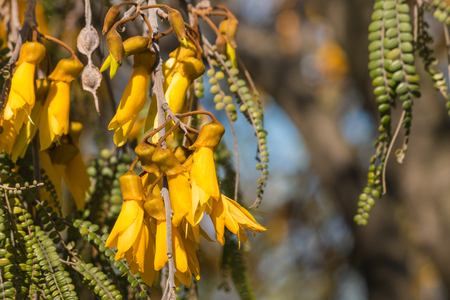 detail of kowhai tree flower in springtime