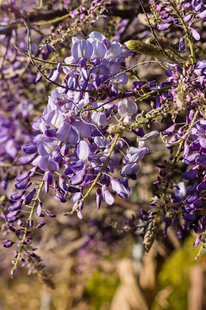 closeup of purple wisteria flowers in bloom Stock Photo