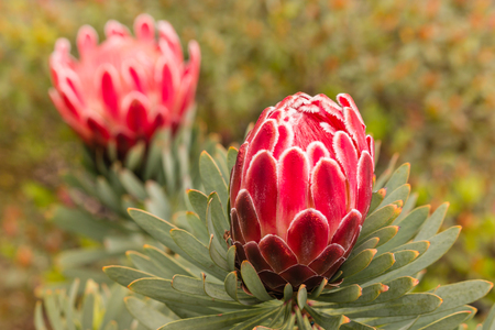 protea flower: closeup of pink protea flower and bud