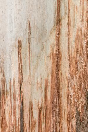 eucalyptus tree: eucalyptus tree with peeling bark background