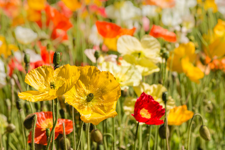 oriental poppy: closeup of colorful oriental poppies on meadow Stock Photo
