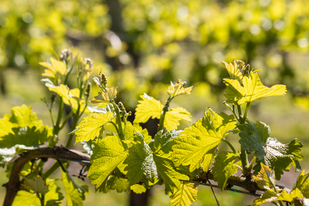 tendrils: fresh grapevine leaves and tendrils in vineyard in springtime