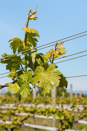 hojas parra: primer plano de las hojas frescas de la vid en la viña contra el cielo azul